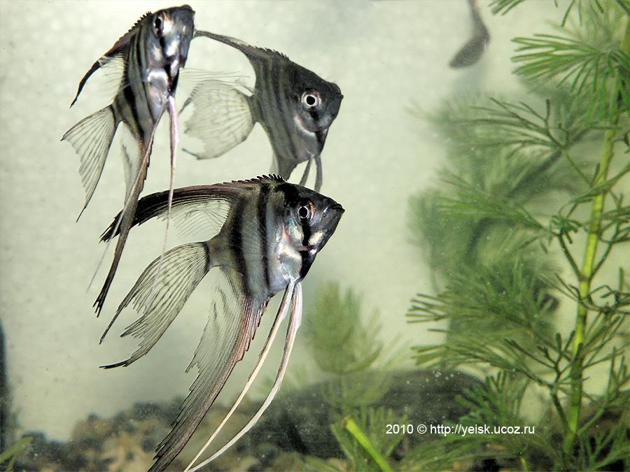 Ейск.Аквариумные рыбки. - Фотоальбомы - Ейск: http://yeisk.ucoz.ru/photo/ejsk_akvariumnye_rybki/49